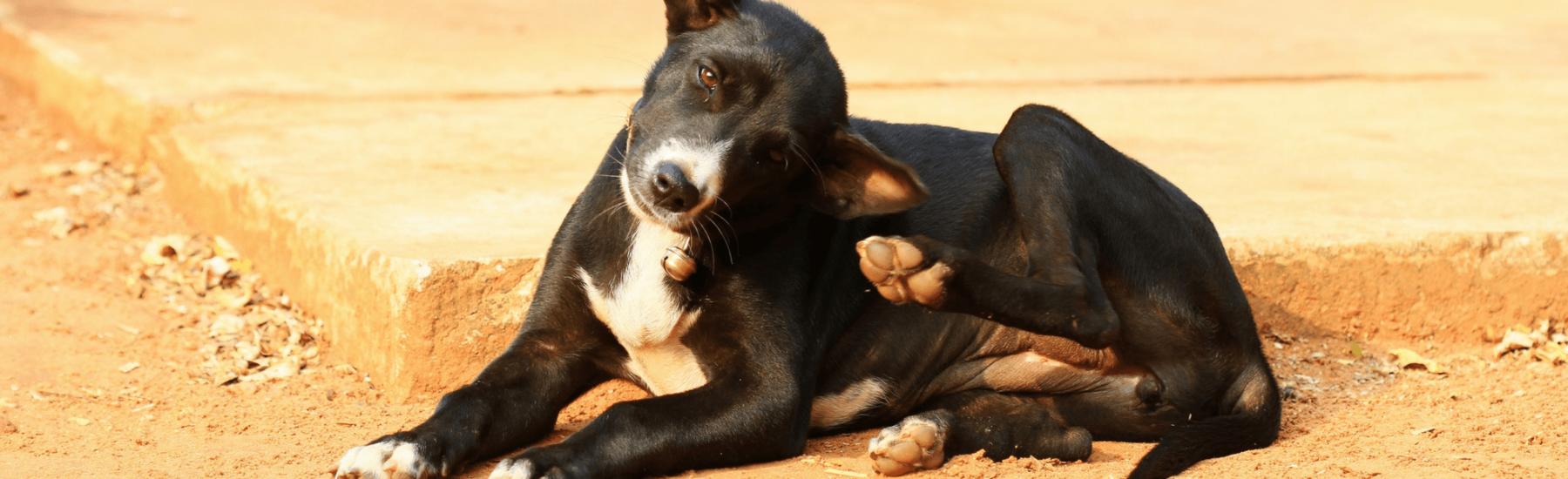 Service-fleas-dogs