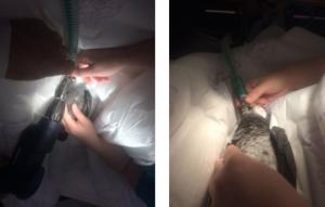 Parrot Beak Surgery