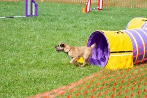 dog agility tunnel run